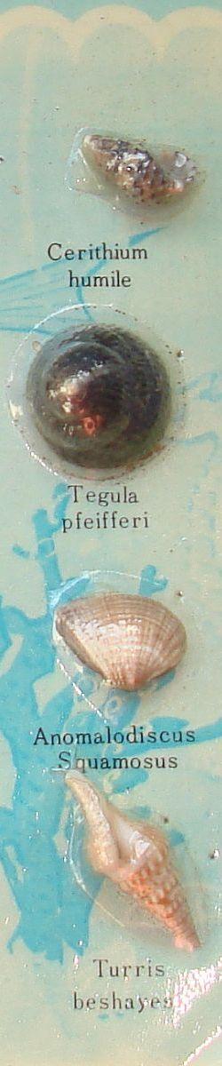 Cerithium humile Tegula pfeifferi Anomalodiscus Squamosus Turris beshayesii