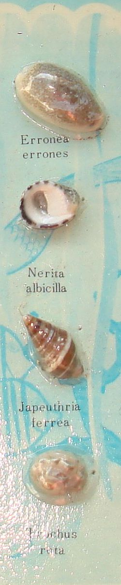 Erronea errones Nerita albicilla Japeuthria ferrea Trochus rota